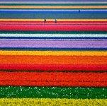 Fields of Gold, Tulip fields just outside Alkmaar, Netherlands.jpg