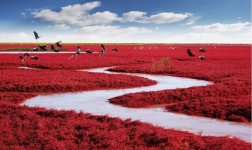 The Unique Red Beach of Panjin, China..jpg