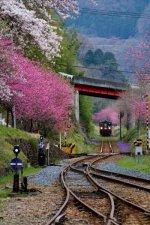 Cherry Blossom Train, Japan.jpg