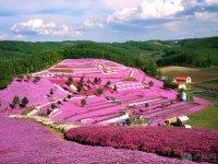 Spring flowers on a hillside, Hokkaido, Japan..jpg