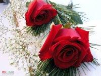 red_roses_wallpaper.jpg